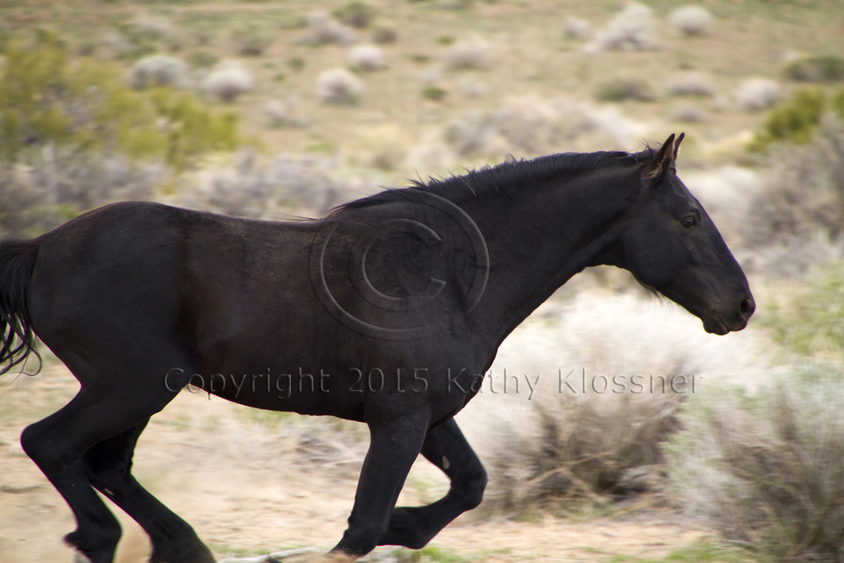 Wild Mustang Horses Images Photo Pro